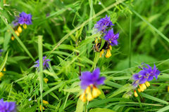 Melampyrum flower, Melampyrum nemorosum , union of two herbaceous plants, whose flowers have two distinctively bright. Colors, yellow and purple. Bumblebee on a Royalty Free Stock Photos