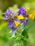 Melampyrum nemorosum Stock Photography