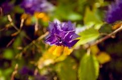 Melampyrum-nemorosum oder Ivan da Marya-Blume als Hintergrundansicht Stockbild