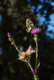 Melanargia Butterfly on Thistle Cirsium Royalty Free Stock Images