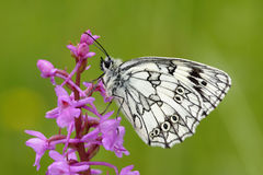 melanargia galathea бабочки Стоковая Фотография RF
