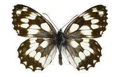 Melanargia galathea. The Marbled White (Melanargia galathea) isolated on a white background royalty free stock photo