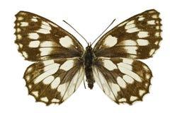 Melanargia galathea. The Marbled White (Melanargia galathea) isolated on a white background stock image