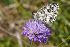 Melanargia galathea Royalty Free Stock Photography