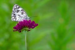 Melanargia Galathea auf Knautia Blume Lizenzfreie Stockfotos