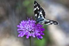 Melanargia galathea butterfly Stock Photography