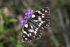 Melanargia galathea butterfly Royalty Free Stock Image