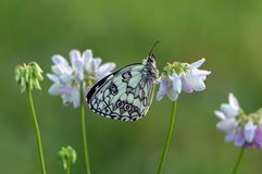 Melanargia galathea butterfly sits among a floral clover awaits dawn. Melanargia galathea butterfly sits among a pink floral clover awaits dawn stock photo