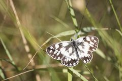 Melanargia galathea detailed white butterfly in a meadow stock photo
