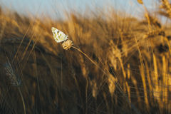 Melanargia galathea, marbled white butterfly in a weat field stock photography