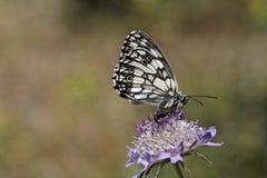 Melanargia galathea, Marbled White butterfly Royalty Free Stock Images