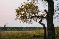 Melancholic ландшафт осени Сиротливое дерево с увядать выходит в середине желтея поля в пасмурный вечер стоковые изображения rf