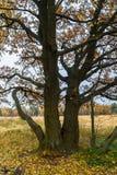 Melancholic ландшафт осени Сиротливое дерево с увядать выходит в середине желтея поля в пасмурный вечер стоковая фотография rf