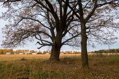 Melancholic ландшафт осени Сиротливое дерево с увядать выходит в середине желтея поля в пасмурный вечер стоковые фотографии rf