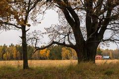 Melancholic ландшафт осени Сиротливое дерево с увядать выходит в середине желтея поля в пасмурный вечер стоковое изображение rf