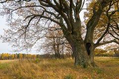 Melancholic ландшафт осени Сиротливое дерево с увядать выходит в середине желтея поля в пасмурный вечер стоковые фото