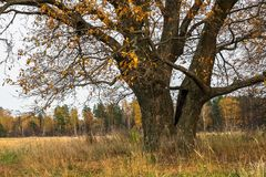 Melancholic autumn landscape. Almost leafless old oak tree on the fading field in a cloudy evening. Melancholic autumn landscape is full of sad harmony. Lonely Royalty Free Stock Photography