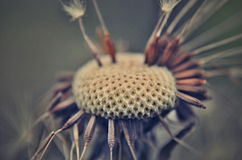 Melancholic dandelion Stock Photos