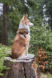 Melancholic dog sits on a tree stump. Melancholic shetland sheepdog (sheltie) sits on a tree stump and enjoys the nature Royalty Free Stock Photos