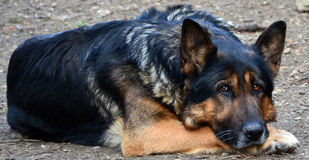 Melancholic German Shepherd. A German Shepherd lying down, with a sad, melancholic look royalty free stock photography