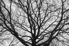 Monochrome melancholic image of tall branchy gloomy oak tree in winter. Melancholic winter view of bare branches on the background of grey overcast sky is full Royalty Free Stock Photos