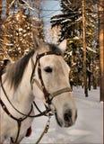 Melancholiczny koń Zdjęcia Royalty Free