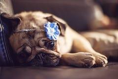 Melancholische pug volwassen hond Stock Foto's