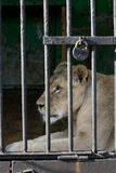 Melancholy 01. Lioness in the sell at the zoo Stock Images