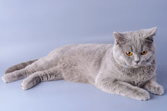 Melancholy grey british short hair cat lying down looking away isolated on a purple background Stock Photography
