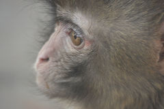 A melancholy monkey Royalty Free Stock Photos