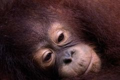 Melancholy Orangutan. A young Orangutan rests its head in its arms in Sabah, Malysian Borneo Royalty Free Stock Photography