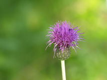 Melancholy thistle Stock Images