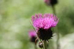 Melancholy thistle (Cirsium heterophyllum) Stock Photo