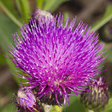 Melancholy thistle, Cirsium heterophyllum, flower macro, selective focus, shallow DOF Royalty Free Stock Images