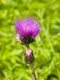 Melancholy thistle, Cirsium heterophyllum, flower macro, selective focus, shallow DOF Royalty Free Stock Photo