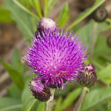 Melancholy thistle, Cirsium heterophyllum, flower macro, selective focus, shallow DOF Royalty Free Stock Photography