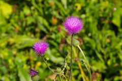 Melancholy thistle Cirsium Heterophyllum Royalty Free Stock Photo