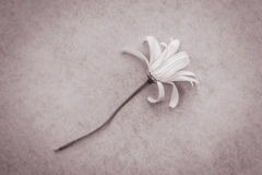 Melancholy: withered daisy Royalty Free Stock Photography