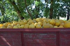 Melancia amarela no carro Foto de Stock
