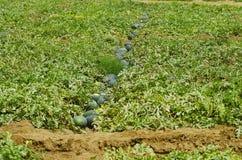 A melancia cultiva, citrullus lanatus, santuário selvagem da vida de Nagzira, Bhandara, perto de Nagpur, Maharashtra foto de stock royalty free