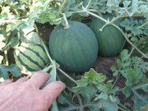 Melancia da colheita da mão no jardim vegetal fotografia de stock