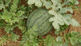 Melancia no foco do jardim no fruto Imagem de Stock Royalty Free