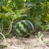 Melancia pequena no tempo claro do jardim in fine Fotografia de Stock