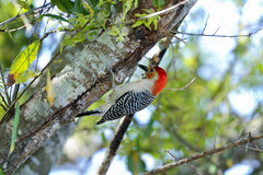 Melanerpes carolinus, red-bellied woodpecker Royalty Free Stock Photo