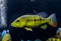 Melaniae Peacock Bass. Cichla Melaniae south american cichlid royalty free stock photo