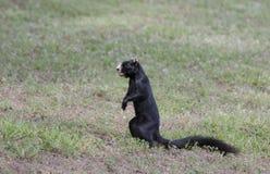 Melanistic黑东部灰色灰鼠, Watkinsville,乔治亚,美国 图库摄影
