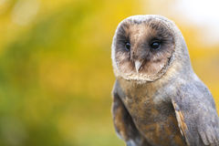 Melanistic or Black Barn Owl Royalty Free Stock Images