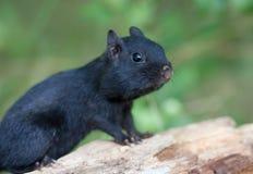Melanistic Black chipmunk Royalty Free Stock Photography