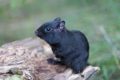 Melanistic Black chipmunk Royalty Free Stock Photo
