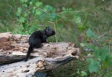 Melanistic Black chipmunk Royalty Free Stock Images